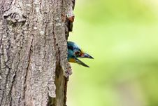 Black-browed Barbet A Bird Royalty Free Stock Photography