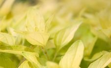 Free Golden Oregano Royalty Free Stock Photography - 19843547