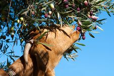 Free Goat Eating Olives Of A Tree Royalty Free Stock Images - 19843599