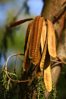 Free Red Tamarind Pods Stock Photo - 19843810