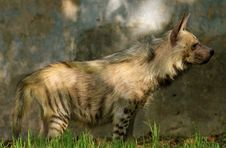 Free Deadly Hyena Stock Images - 19844334