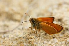 Free Small Skipper Thymelicus Sylvestris Stock Image - 19844371