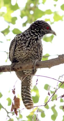 Free Asian Koel Royalty Free Stock Image - 19844426