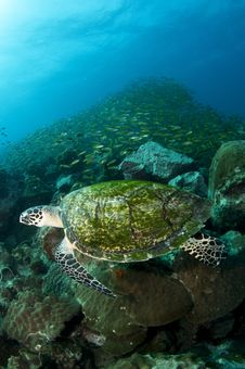 Free Sea Turtle Royalty Free Stock Photography - 19844797