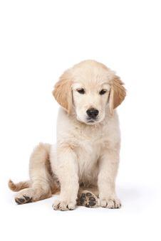 Free Golden Retriever Puppy Stock Photos - 19845213