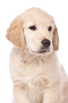 Free Golden Retriever Puppy Royalty Free Stock Photo - 19845215
