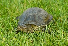 Free Turtle Royalty Free Stock Image - 19845416