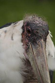 Free Marabou Stork Royalty Free Stock Images - 19846139