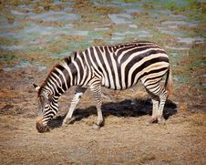 Free One Zebra Royalty Free Stock Images - 19848179
