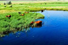 Free Cows In The River Royalty Free Stock Photos - 19848238