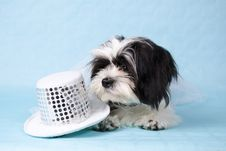 Shih Tzu Stock Photo