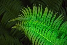 Free Fern Stock Photography - 19849812