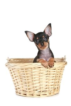 Funny Toy Terrier Puppy In Basket Stock Image