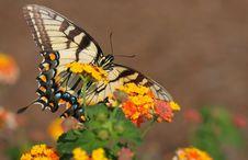 Free Eastern Tiger Swallowtail Royalty Free Stock Image - 19850036