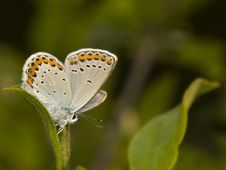 Free Plebejus Argyrognomon Stock Photos - 19850203