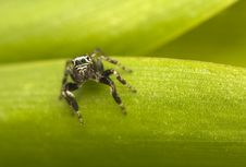Free Jump Spider - Evarcha Stock Images - 19850544