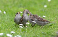 Free Sparrow Chicks. Royalty Free Stock Photos - 19850888
