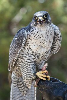 Free Falcon Stock Photography - 19851392