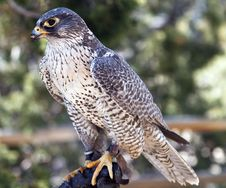 Free Falcon Royalty Free Stock Images - 19851429