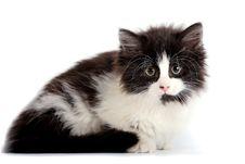 Free Kitten Royalty Free Stock Image - 19851546