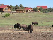 Free American Buffalos Stock Image - 19852131