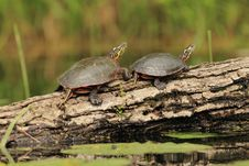 Free Pair Of Painted Turtles On A Log Stock Images - 19853014