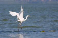 Free Great Egret Flying Royalty Free Stock Photo - 19853675