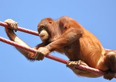 Free Orangutan Climbing Ropes Royalty Free Stock Photo - 19853685