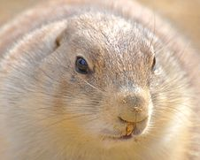Free Prairie Dog Royalty Free Stock Photography - 19853687