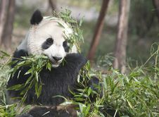 Free Giant Panda Royalty Free Stock Photos - 19853968