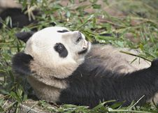 Free Giant Panda Stock Image - 19853981