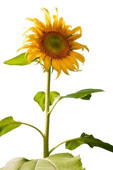 Free Sunflower Royalty Free Stock Photo - 19854225