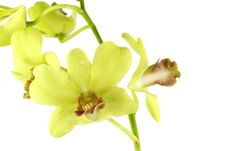 Free Striking Green Orchid Royalty Free Stock Image - 19854356