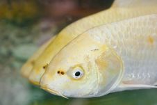 Free Golden Koi Stock Photos - 19854413