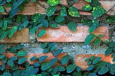 Ivy On The Brick Wall Royalty Free Stock Photo