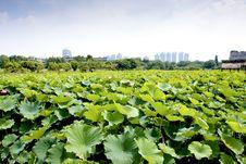 Free Lotus Farm Stock Photo - 19854870