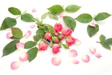 Free Pink Roses Stock Photography - 19854872