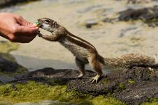 Free Chipmunk Royalty Free Stock Photo - 19854955