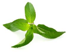 Free Fresh Mint Leaves Royalty Free Stock Images - 19855289