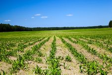 Free Corn Field Stock Images - 19856034