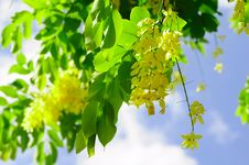 Free Golden Shower Tree Royalty Free Stock Photos - 19856428