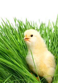 Free Baby Chicken On Green Grass Stock Image - 19857051