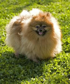 Free Pomeranian Spitz Royalty Free Stock Photography - 19857217