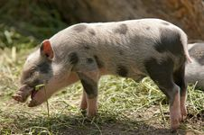 Free Little Pig Royalty Free Stock Image - 19857286