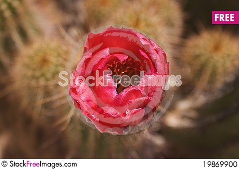 Free Bloom In The Desert Stock Photo - 19869900
