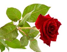 Free Dark Red Rose With Drops Royalty Free Stock Photos - 19867688