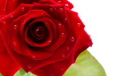 Free Dark Red Rose With Drops Stock Photo - 19867780