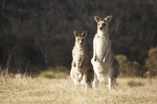 Free Kangaroo Stock Photo - 19868180