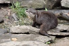Free Oriental Small-clawed Otter Royalty Free Stock Photo - 19868935