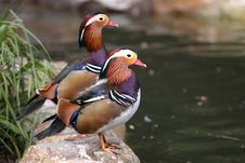 Free Mandarin Duck Royalty Free Stock Photography - 19869217